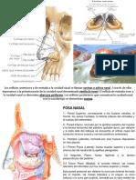 Pirámide Nasal, Fosas Nasales, Senos Para-nasales; Nervio Olfatorio.