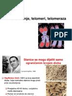 Starenje _telomere, Telomeraza