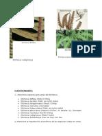 gleicheniaceae.docx