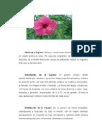 Hibiscus o Cayena