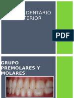 Grupo Posterior - Premolares y Molares