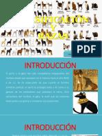 Clasificación y Razas De cánidos y felinos
