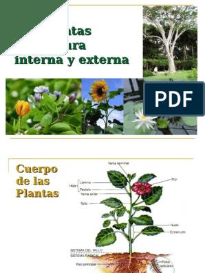 Estructura Interna Y Externa Raíz Tallo De La Planta