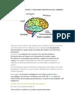 Cuáles Son Las Partes y Funciones Principales Del Cerebro