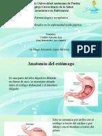 Anatomía Del Estomago
