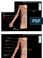 cadavermuscularupperpacgpro