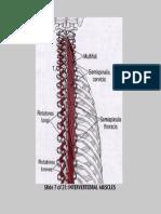 Intervertebral Muscles