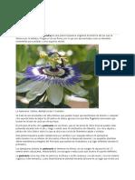 Passiflora Pasionaria