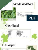 GULMA Synedrella nodiflora