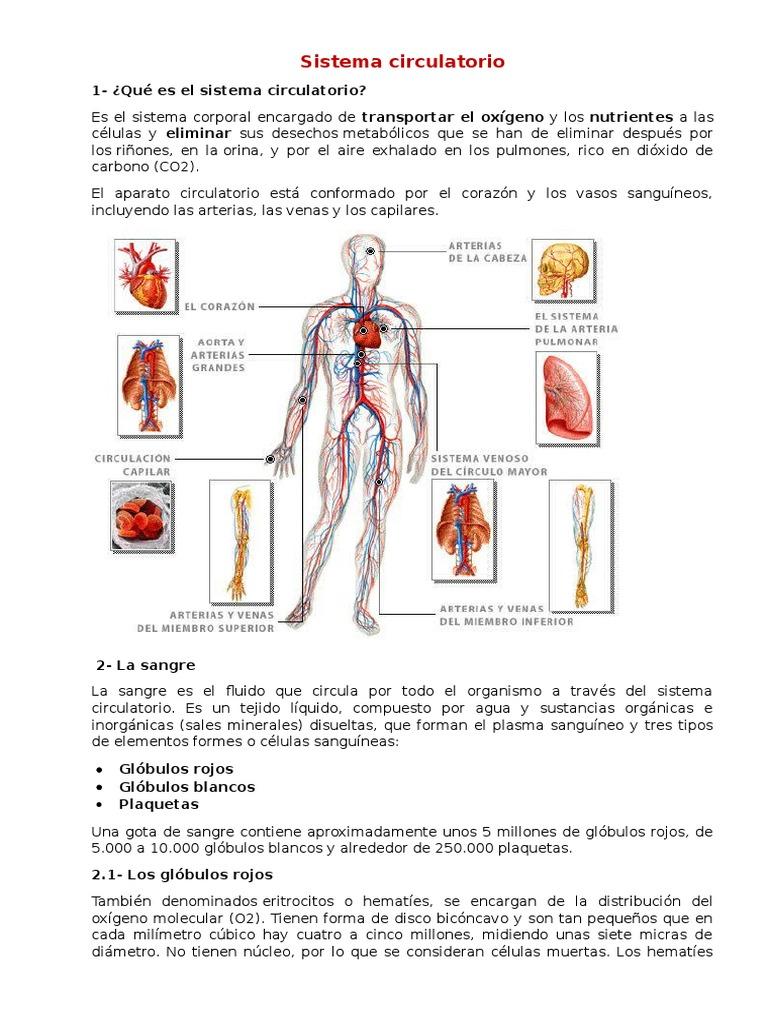 Asombroso El Sistema Circulatorio Festooning - Anatomía de Las ...