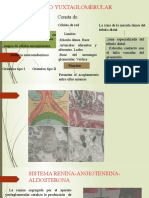 aparato yuxtaglomerular histologia