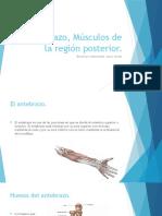 Antebrazo, Músculos de La Región Posterior