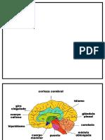 Crebro y Sus Partes