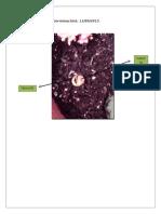 Planta Frijol 3(a)