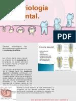 embriologia dentaria (1).pptx