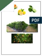 plantacion de limones