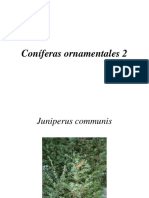 Coniferas ornamentales 2