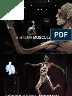 Musculos Del Abdomen