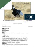 Condor de Los Andes - Aves de Chile