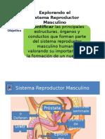 Clase 4 y 5 Sistema Reproductor Masculino