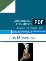 Organización de Los Músculos - Expo Zoología 2.0