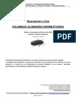 Descripcion y Cria Palembus Ulomoides Dermestoides Gorgojo de La Harina
