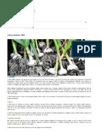 Como plantar alho | hortas.info