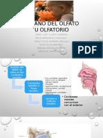 Órgano Del Olfato Anatomia Equipo