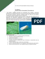 Monitoreo de Plagas y Enfermedades en Cultivo de Sandía