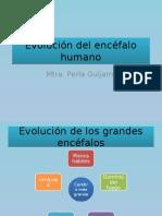 1 Evolución Del Encéfalo Humano