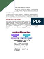 "11RESPIRACIÃ""N AEROBIA Y ANAEROBIA.pdf"