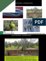 Curso de Olivicultura. La Fisiologia Del Olivo