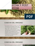 Oregano, Cosecha y Post Cosecha