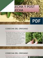 Oregano, Cosecha y Post Cosecha