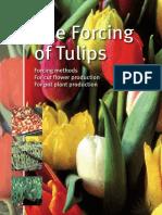 Forzado Tulipanes