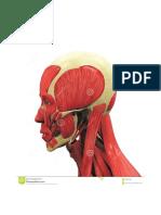 Anatomía - Ilustración v - Cabeza