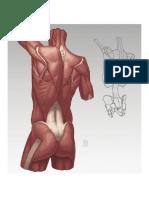 Anatomía - Ilustración VIII Torso
