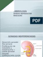 embriologia-masculino