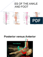 ankle-muscles.pdf