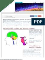 Tronco Cerebral Cochlea