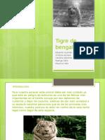 Tigre de Bengala (1)