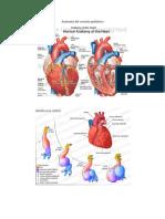 anatomia del corazon pediatrico