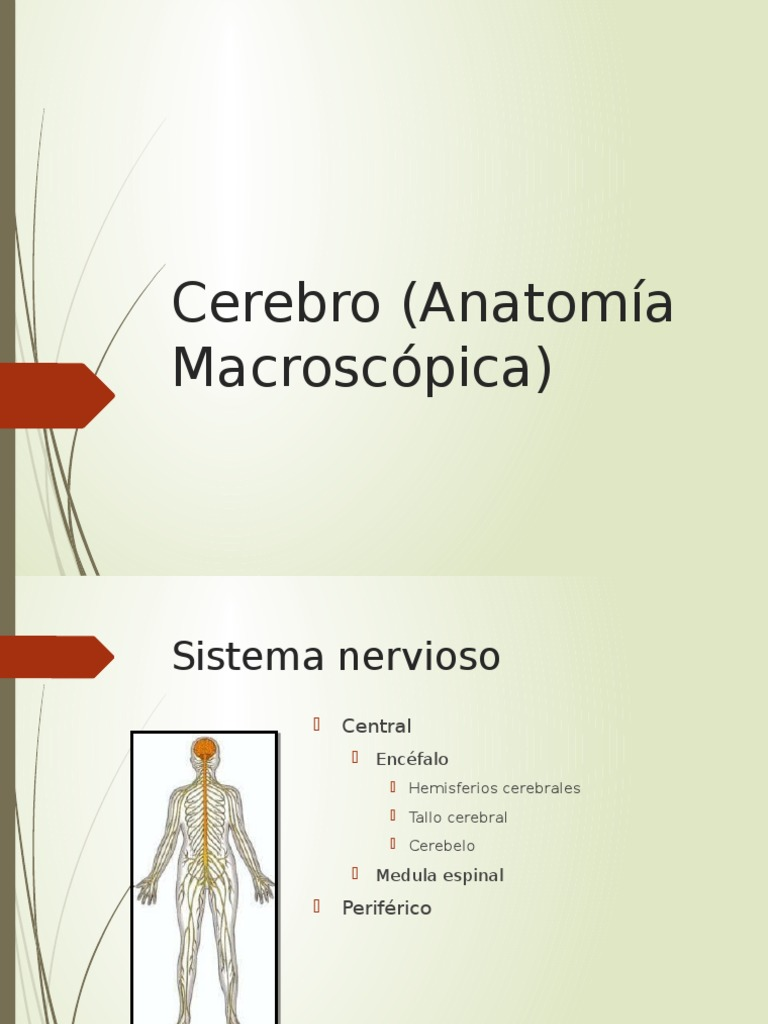 Perfecto Anatomía Macroscópica Cerebro Bandera - Imágenes de ...