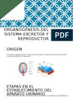 Organogénesis Del Sistema Excretor y Reproductor