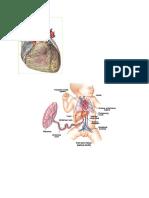 Fisiologi Sistem Kardiovaskular Pada Masa Janin