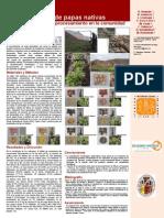 Caracterización de papas nativas para la morfología y el procesamiento en la comunidad de Palccoyo, Cusco
