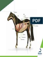 Equine Internal Organs