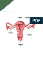 Gambar Uterus