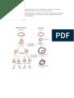 Trabajo de Espermatogenis y Ovogenis
