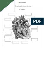 Preguntas aparato circulatorio 1.docx
